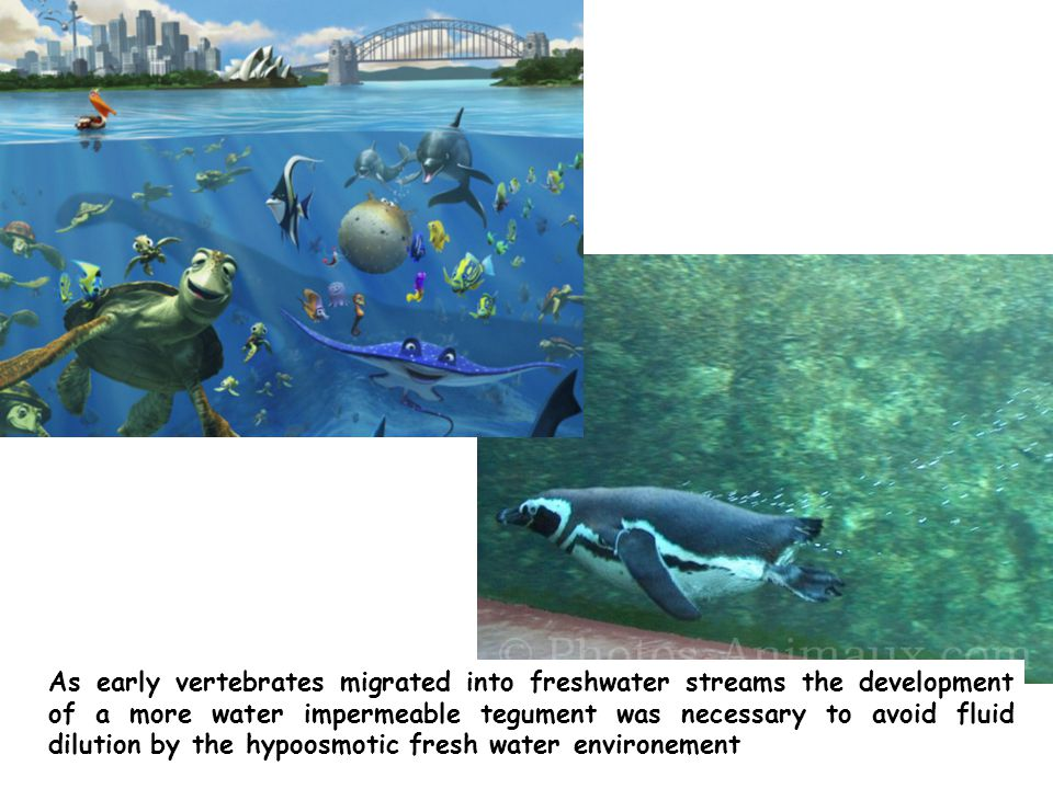 As early vertebrates migrated into freshwater streams the development of a more water impermeable tegument was necessary to avoid fluid dilution by the hypoosmotic fresh water environement