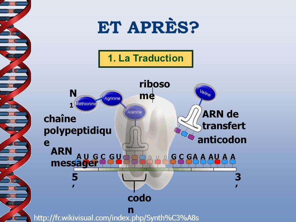 ET APRÈS 1. La Traduction codon chaîne polypeptidique anticodon