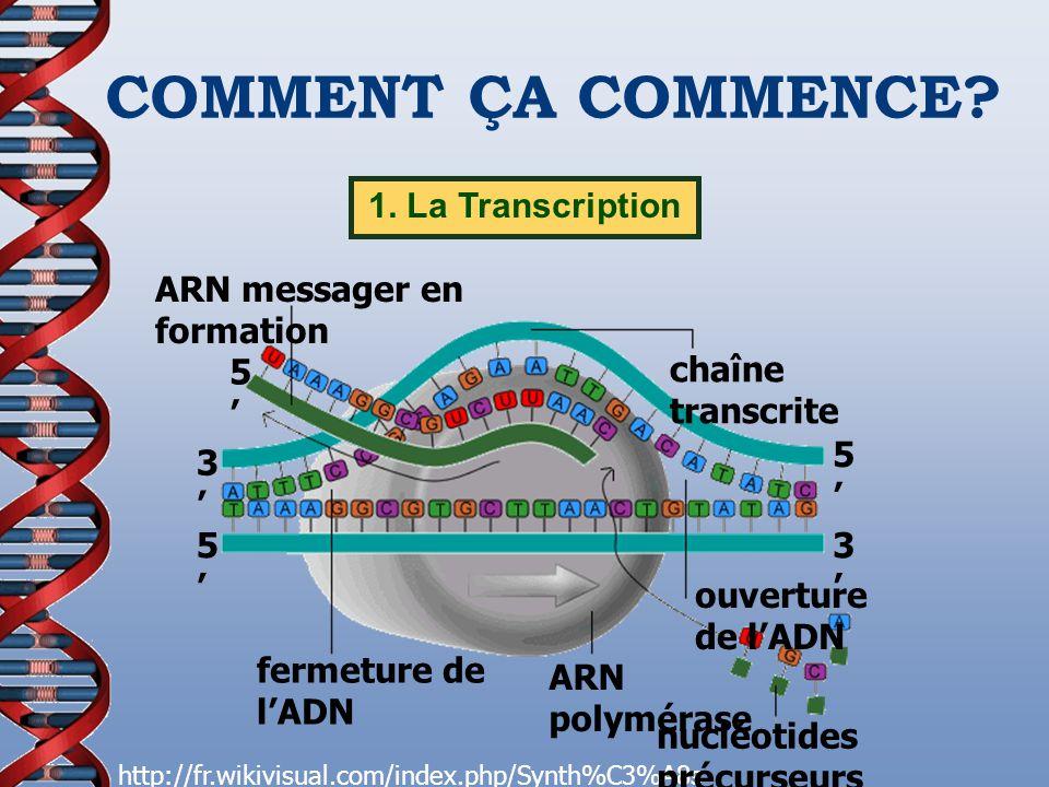 COMMENT ÇA COMMENCE 1. La Transcription ARN messager en formation