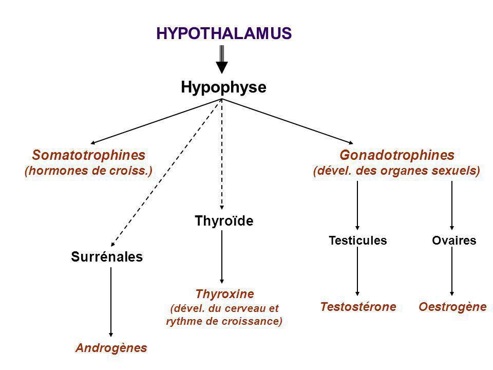 HYPOTHALAMUS Hypophyse