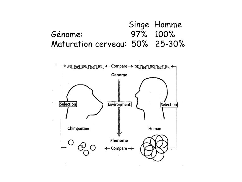 Singe Homme Génome: 97% 100% Maturation cerveau: 50% 25-30%