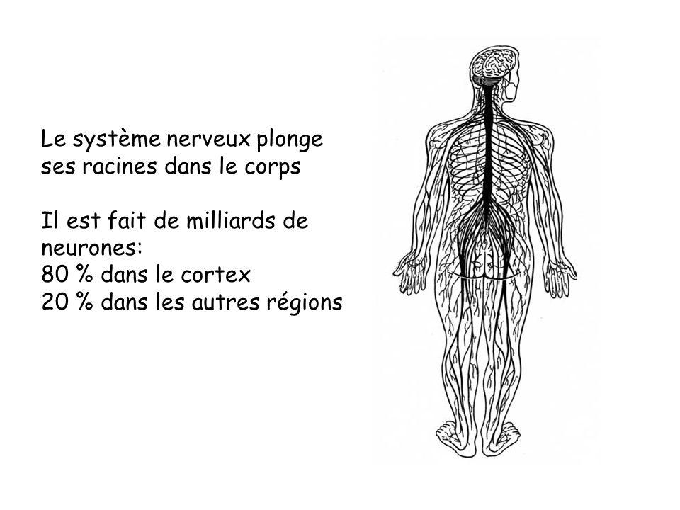 Le système nerveux plonge ses racines dans le corps