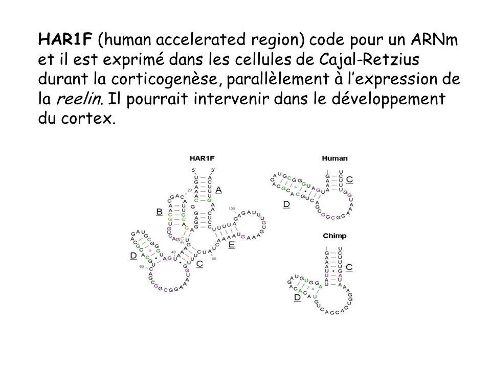 HAR1F (human accelerated region) code pour un ARNm et il est exprimé dans les cellules de Cajal-Retzius durant la corticogenèse, parallèlement à l'expression de la reelin.