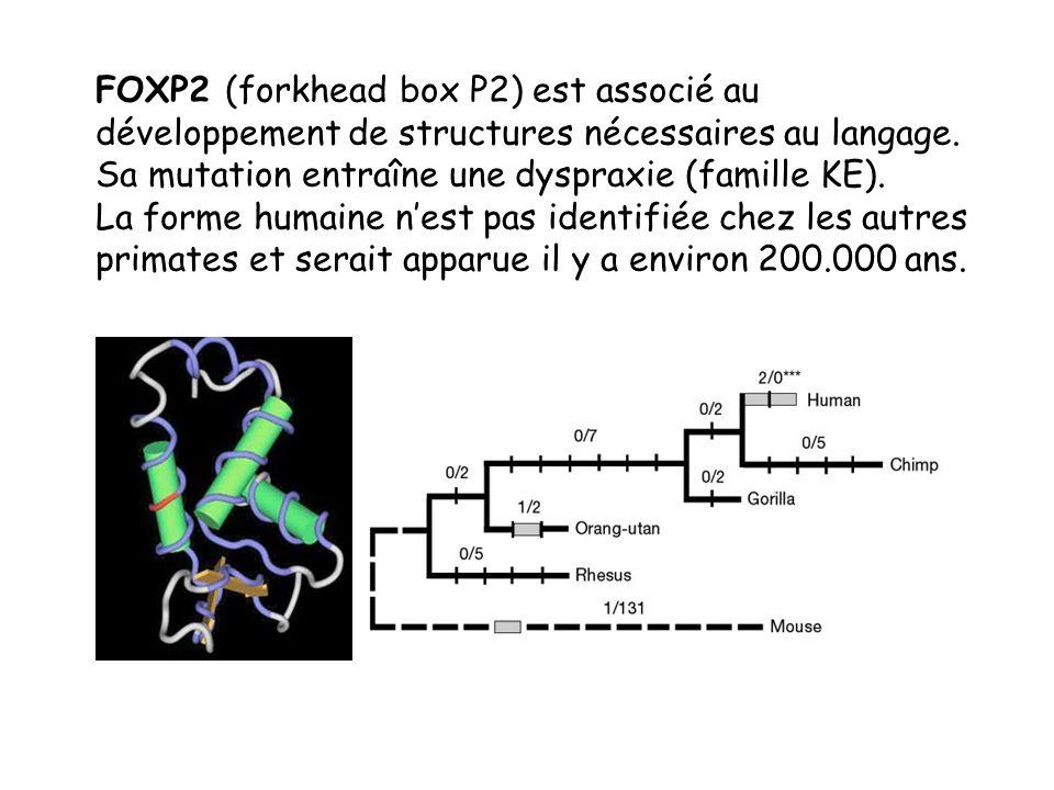 FOXP2 (forkhead box P2) est associé au développement de structures nécessaires au langage. Sa mutation entraîne une dyspraxie (famille KE).