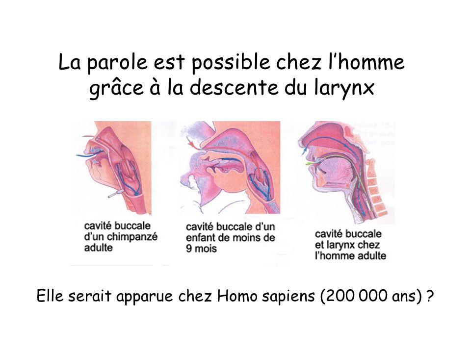 La parole est possible chez l'homme grâce à la descente du larynx