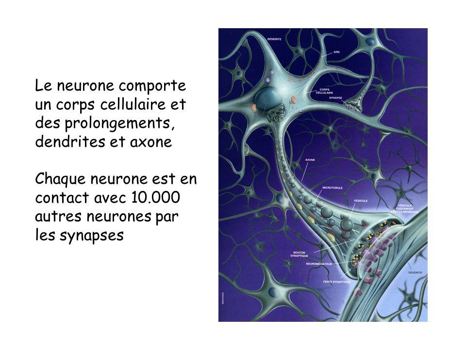 Le neurone comporte un corps cellulaire et. des prolongements, dendrites et axone. Chaque neurone est en.