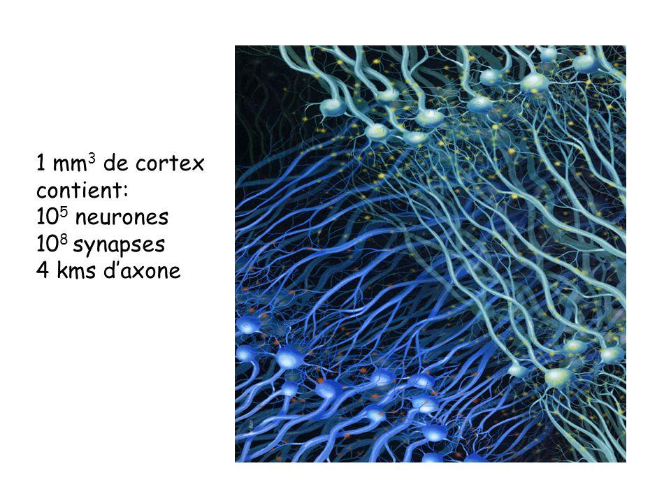 1 mm3 de cortex contient: 105 neurones 108 synapses 4 kms d'axone