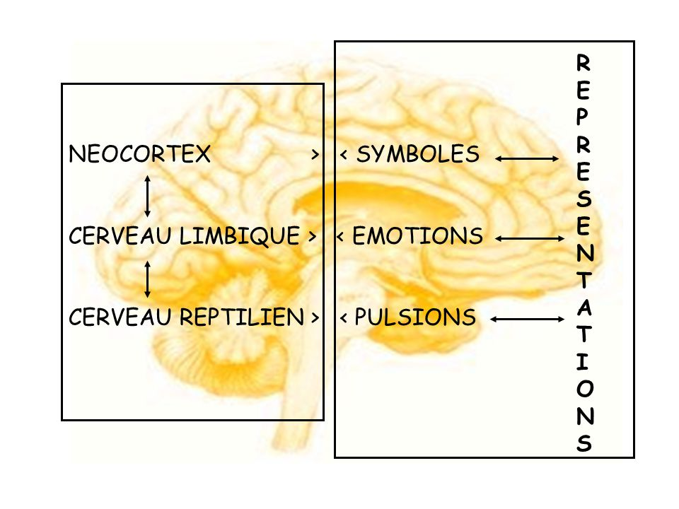 REPRESENTATIONS NEOCORTEX > < SYMBOLES.