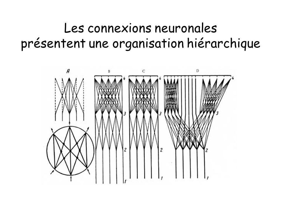 Les connexions neuronales présentent une organisation hiérarchique
