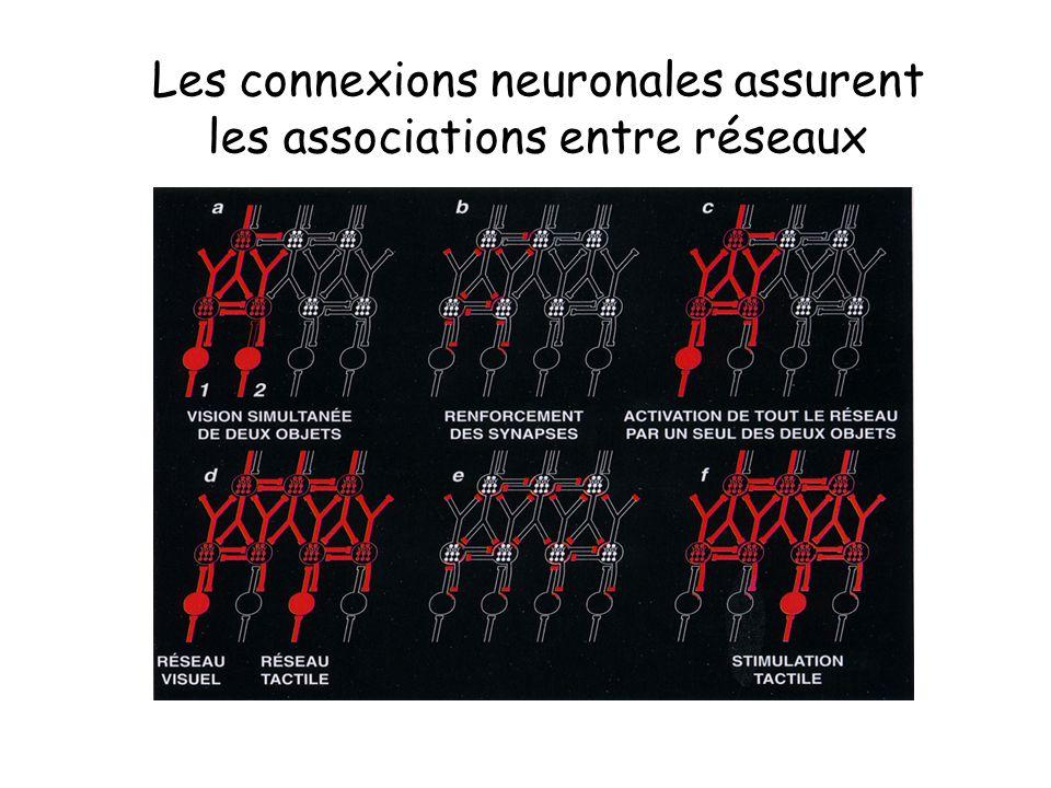 Les connexions neuronales assurent les associations entre réseaux