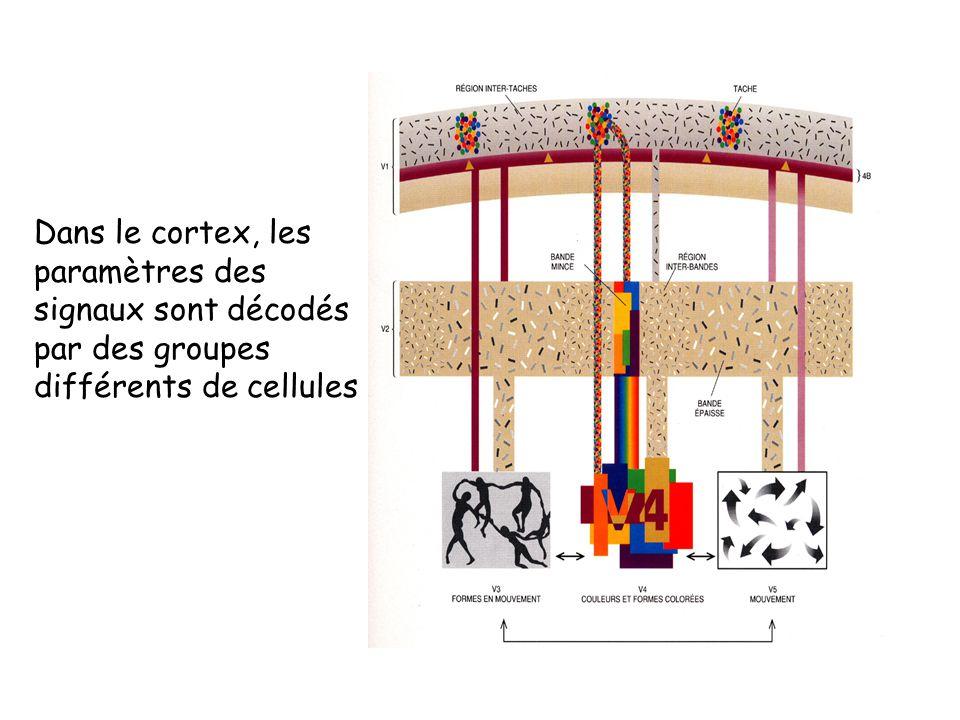 Dans le cortex, les paramètres des signaux sont décodés par des groupes différents de cellules