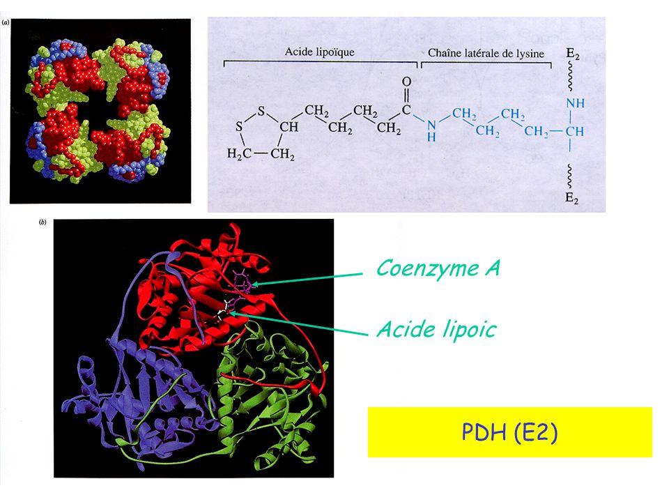 Coenzyme A Acide lipoic PDH (E2)