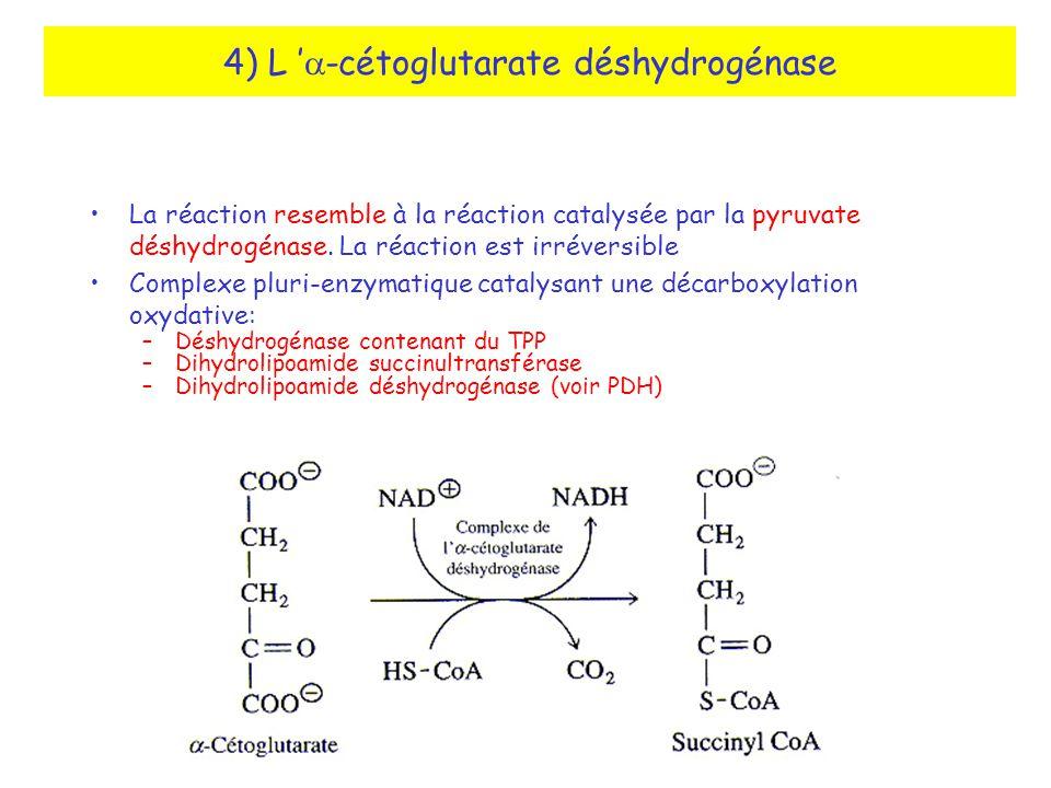 4) L 'a-cétoglutarate déshydrogénase