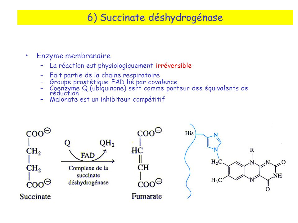 6) Succinate déshydrogénase
