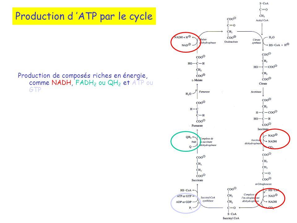 Production d 'ATP par le cycle