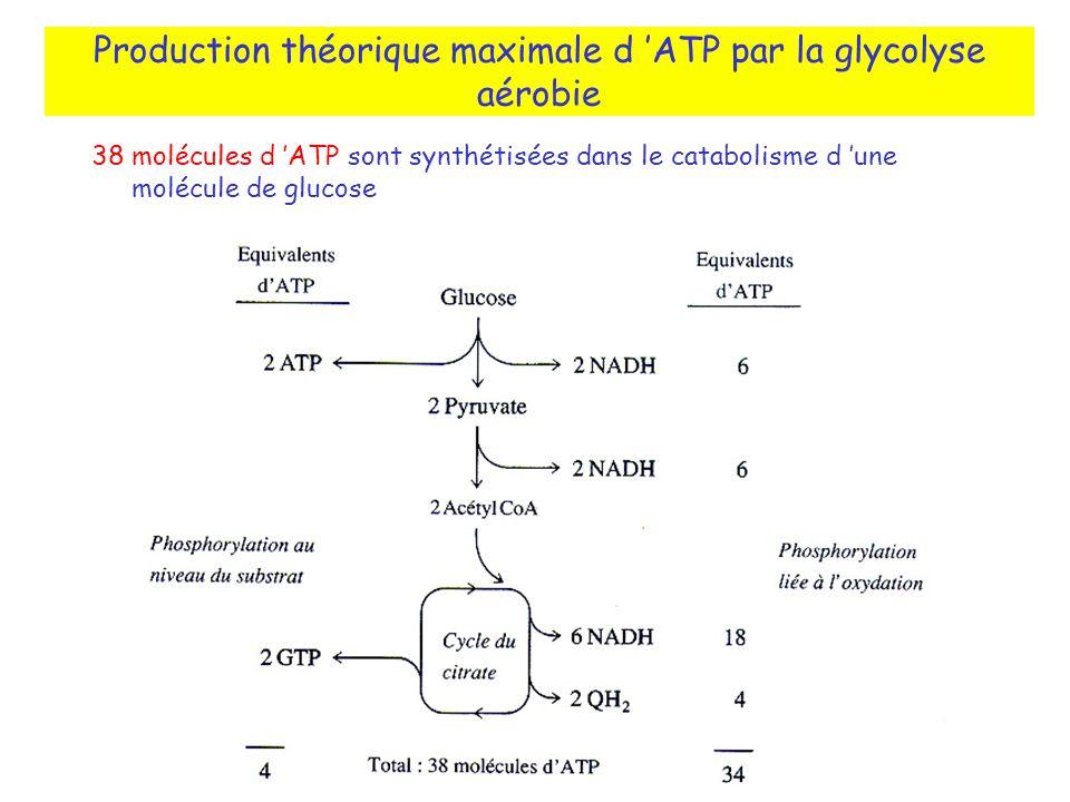 Production théorique maximale d 'ATP par la glycolyse aérobie
