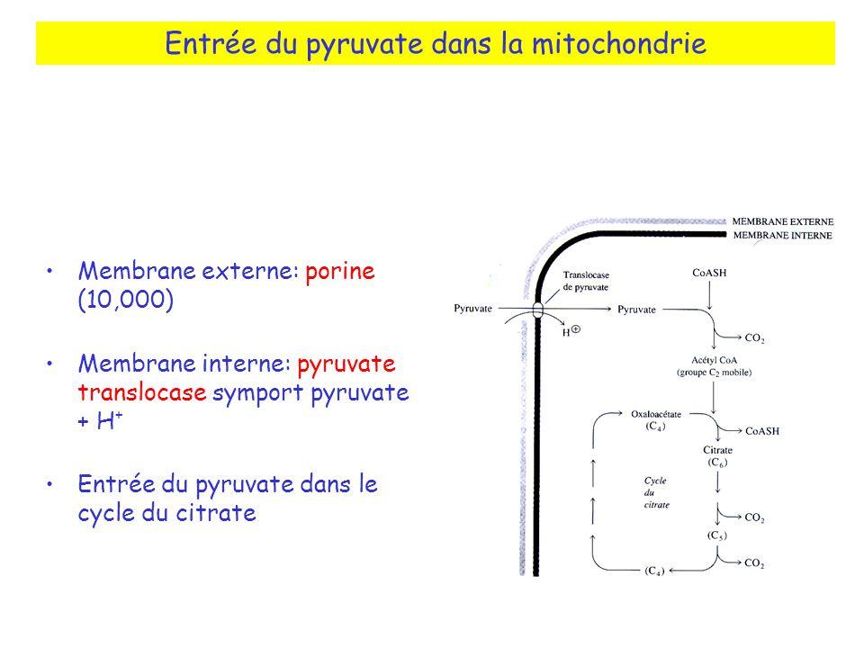 Entrée du pyruvate dans la mitochondrie