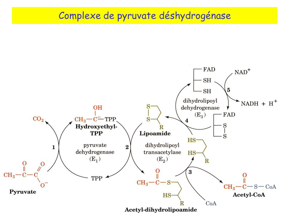Complexe de pyruvate déshydrogénase