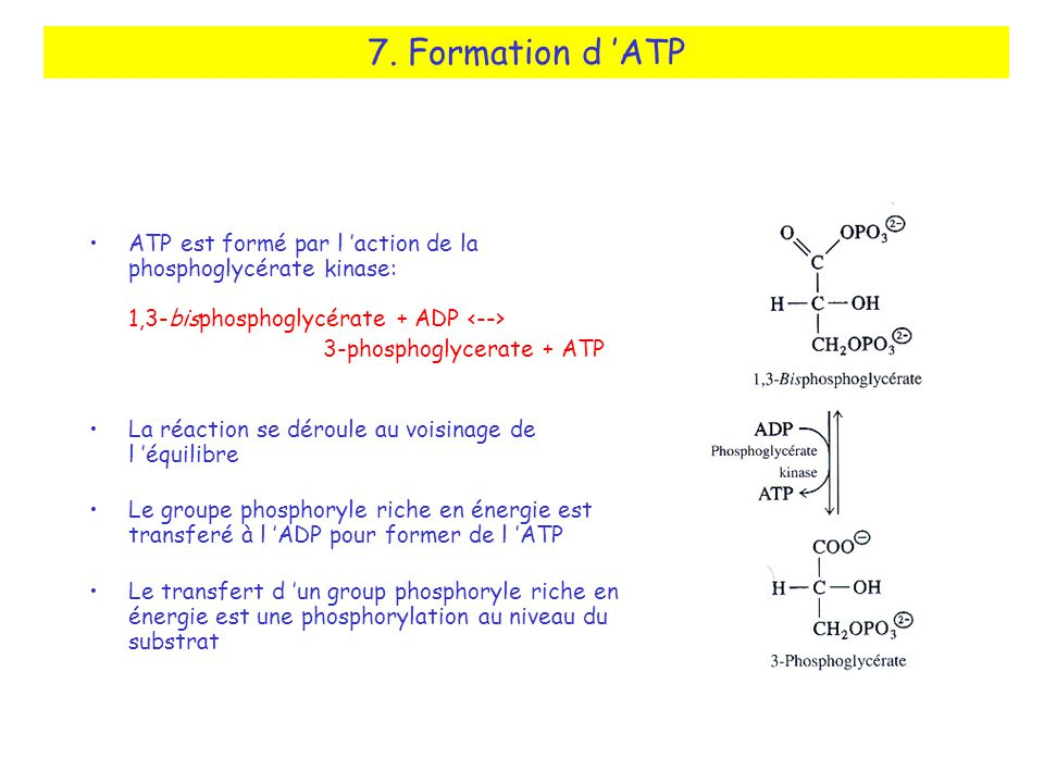 7. Formation d 'ATP ATP est formé par l 'action de la phosphoglycérate kinase: 1,3-bisphosphoglycérate + ADP <-->