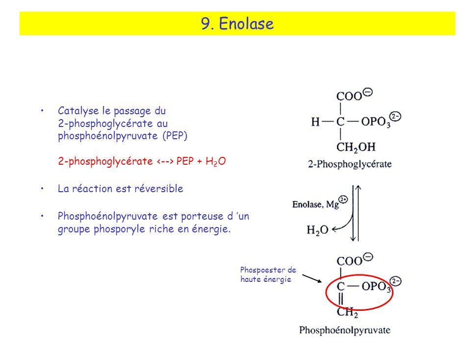 9. Enolase Catalyse le passage du 2-phosphoglycérate au phosphoénolpyruvate (PEP) 2-phosphoglycérate <--> PEP + H2O.