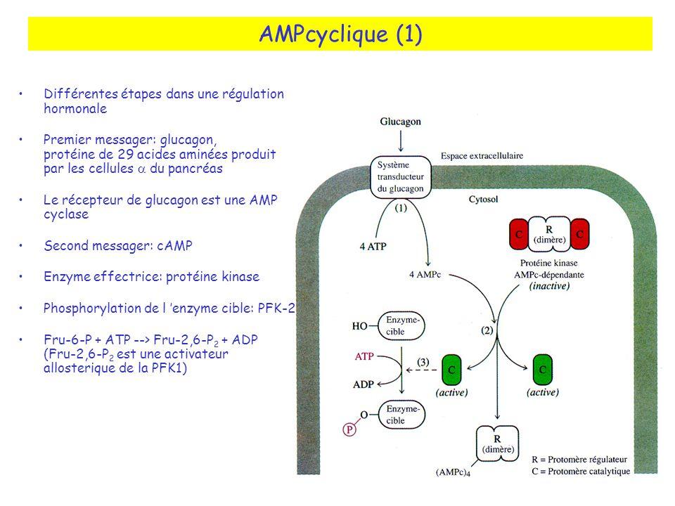 AMPcyclique (1) Différentes étapes dans une régulation hormonale