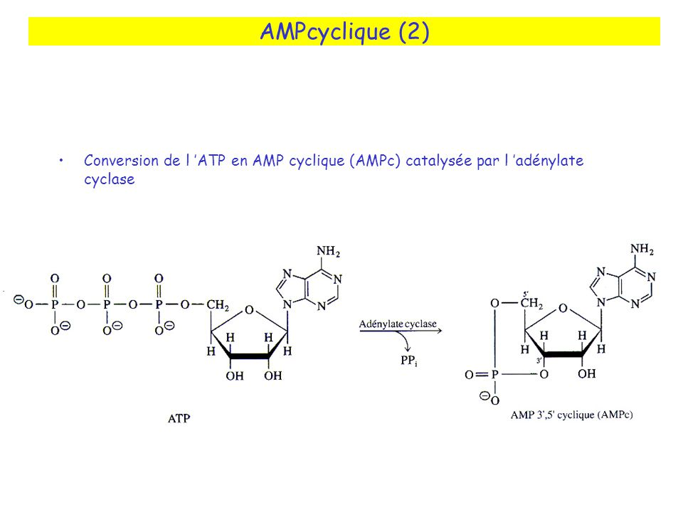 AMPcyclique (2) Conversion de l 'ATP en AMP cyclique (AMPc) catalysée par l 'adénylate cyclase
