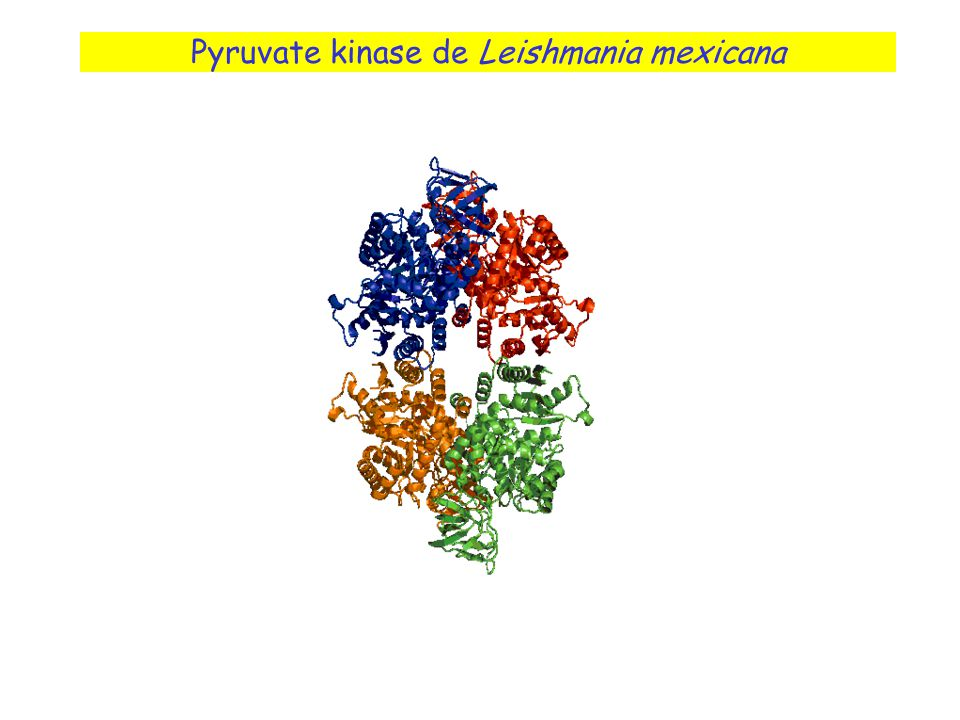 Pyruvate kinase de Leishmania mexicana