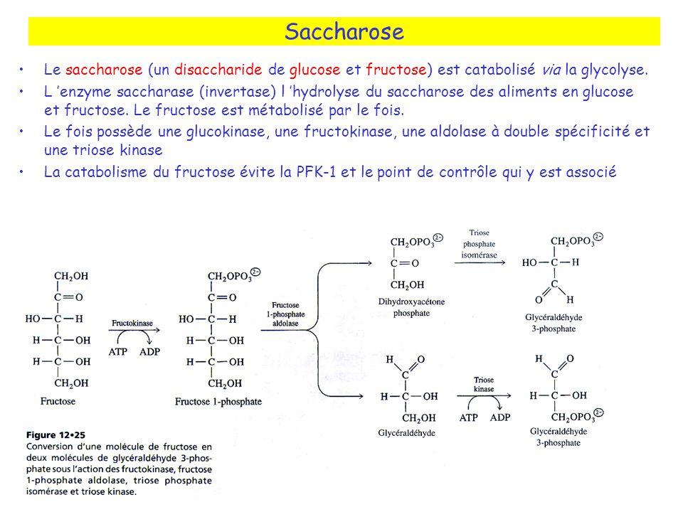 Saccharose Le saccharose (un disaccharide de glucose et fructose) est catabolisé via la glycolyse.