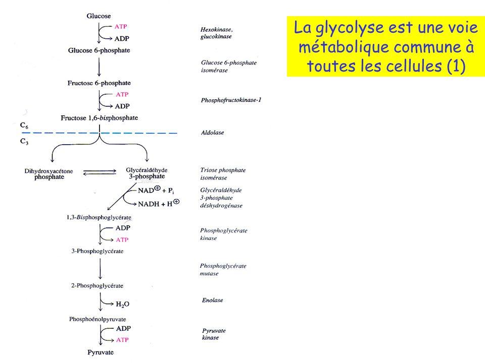 La glycolyse est une voie métabolique commune à toutes les cellules (1)