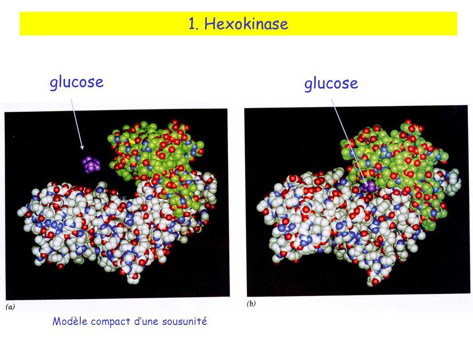 1. Hexokinase glucose glucose Modèle compact d'une sousunité