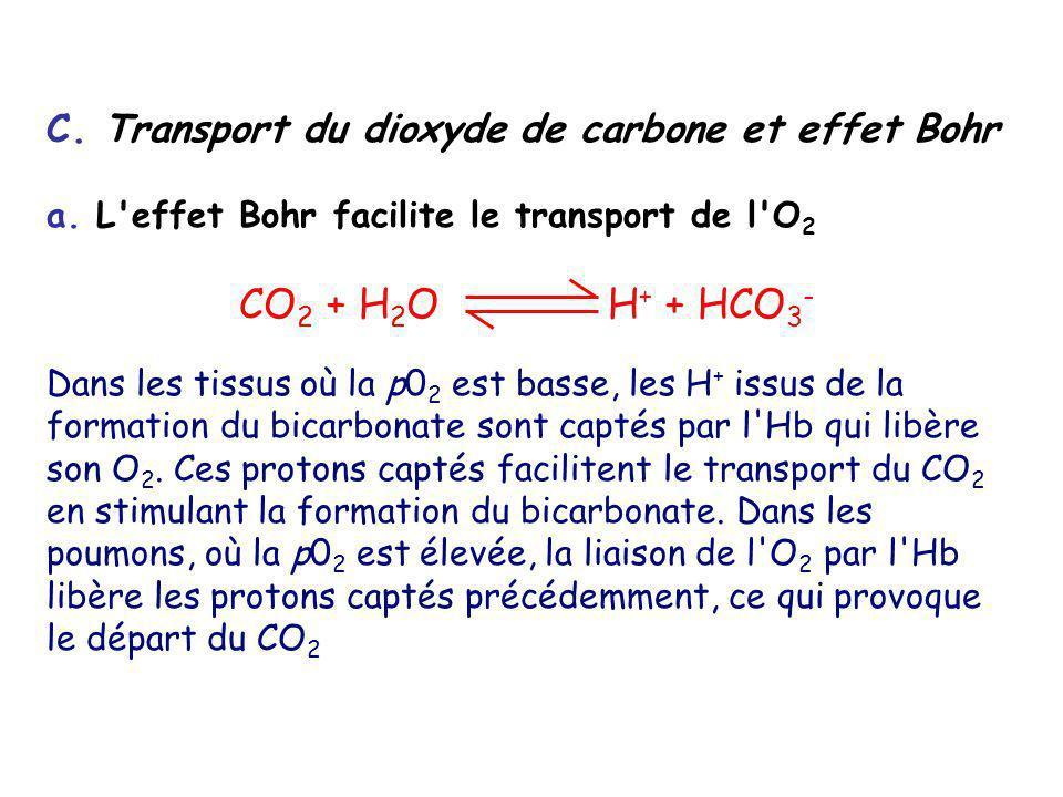 CO2 + H2O H+ + HCO3- C. Transport du dioxyde de carbone et effet Bohr