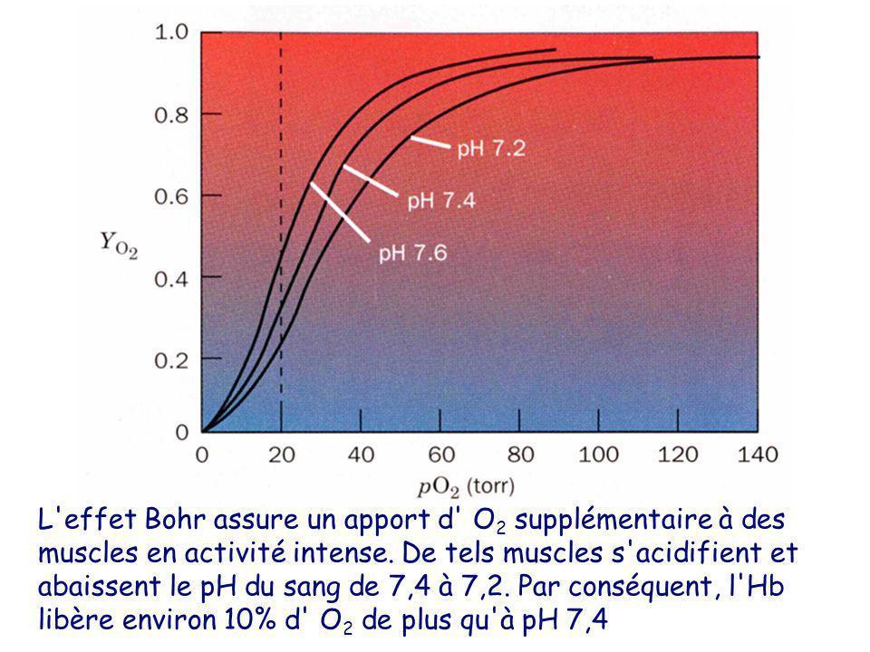 L effet Bohr assure un apport d O2 supplémentaire à des muscles en activité intense.