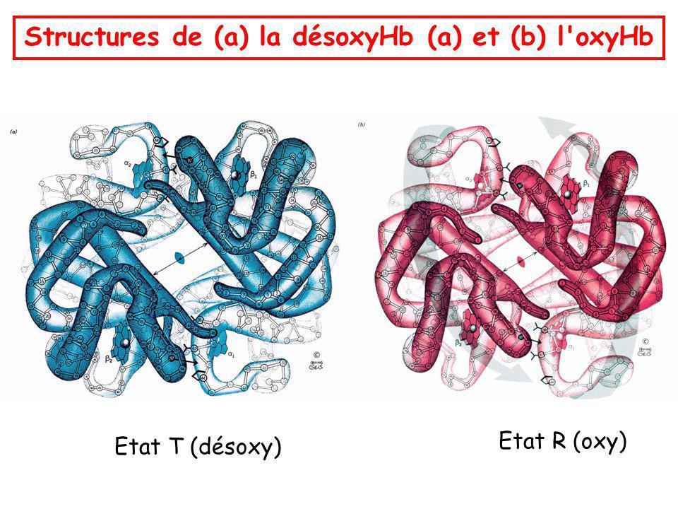Structures de (a) la désoxyHb (a) et (b) l oxyHb