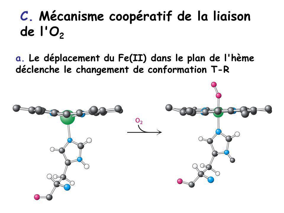 C. Mécanisme coopératif de la liaison de l O2