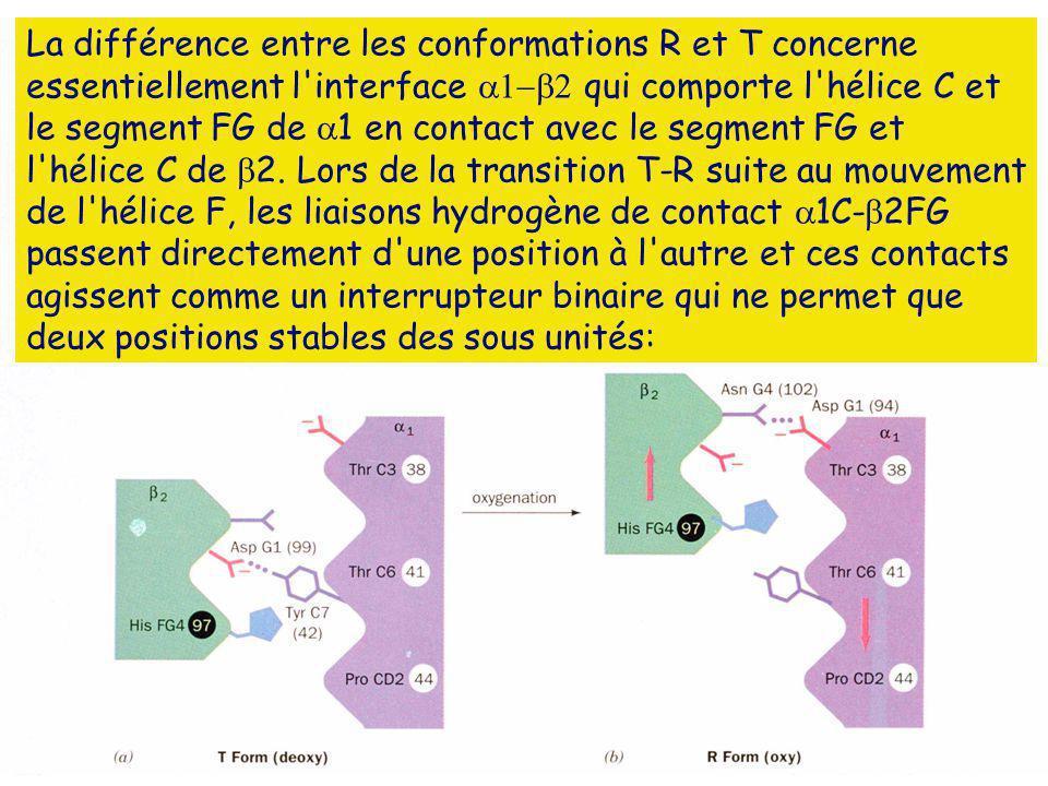 La différence entre les conformations R et T concerne essentiellement l interface  qui comporte l hélice C et le segment FG de 1 en contact avec le segment FG et l hélice C de 2.