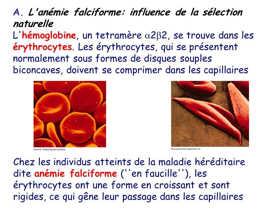A. L anémie falciforme: influence de la sélection naturelle