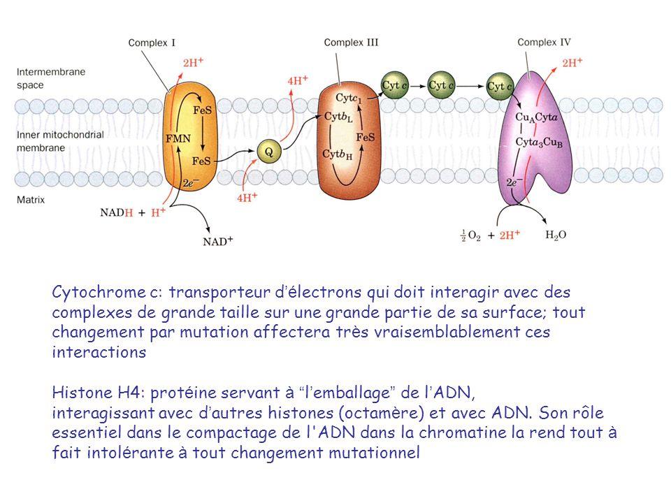 Cytochrome c: transporteur d'électrons qui doit interagir avec des complexes de grande taille sur une grande partie de sa surface; tout changement par mutation affectera très vraisemblablement ces interactions