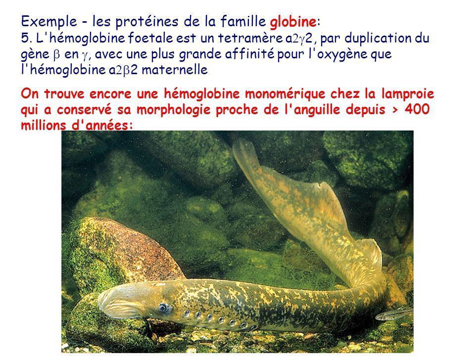 Exemple - les protéines de la famille globine: