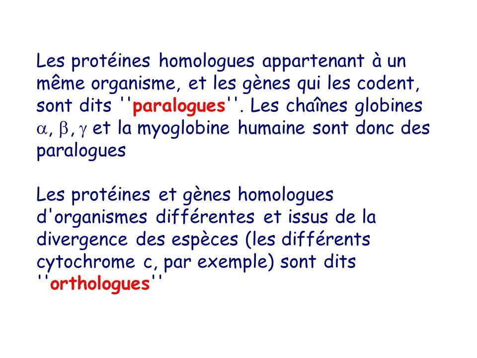 Les protéines homologues appartenant à un même organisme, et les gènes qui les codent, sont dits paralogues . Les chaînes globines , ,  et la myoglobine humaine sont donc des paralogues