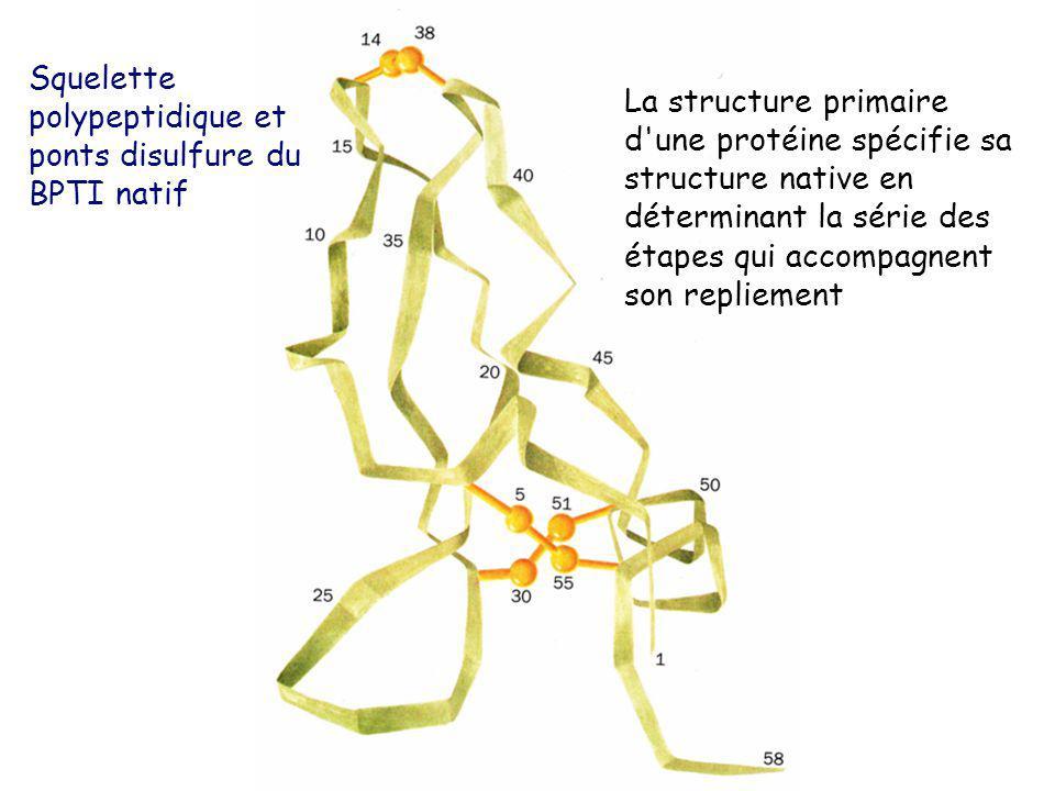 Squelette polypeptidique et ponts disulfure du BPTI natif