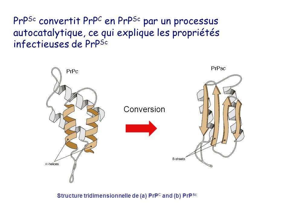 PrPSc convertit PrPC en PrPSc par un processus autocatalytique, ce qui explique les propriétés infectieuses de PrPSc