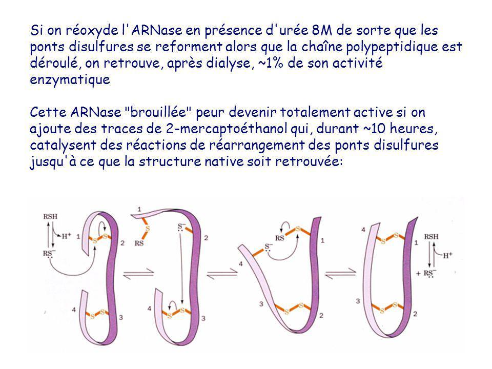 Si on réoxyde l ARNase en présence d urée 8M de sorte que les ponts disulfures se reforment alors que la chaîne polypeptidique est déroulé, on retrouve, après dialyse, ~1% de son activité enzymatique