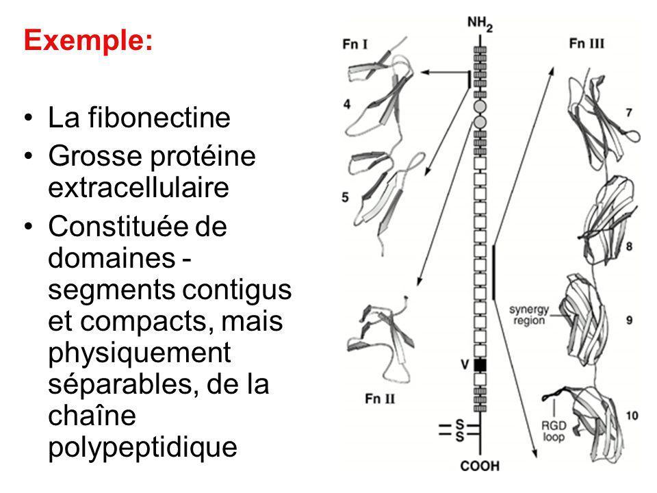 Exemple: La fibonectine. Grosse protéine extracellulaire.
