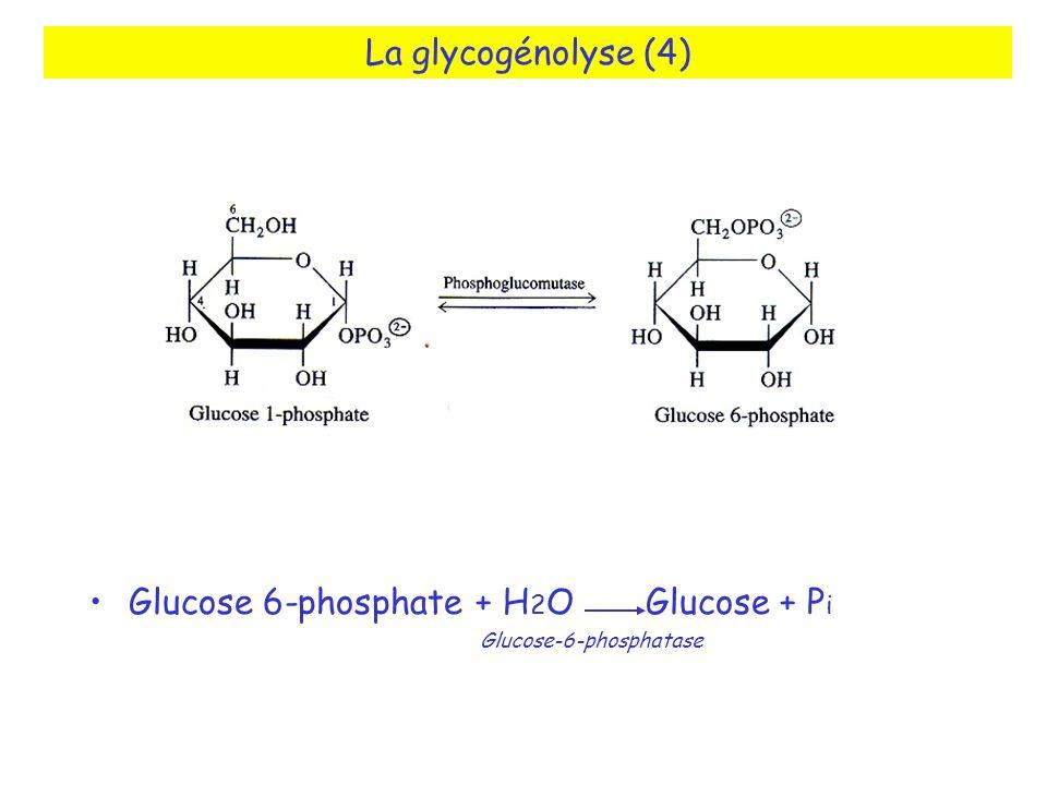 La glycogénolyse (4) Glucose 6-phosphate + H2O Glucose + Pi Glucose-6-phosphatase.