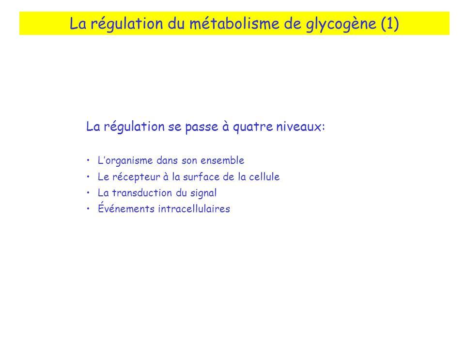 La régulation du métabolisme de glycogène (1)