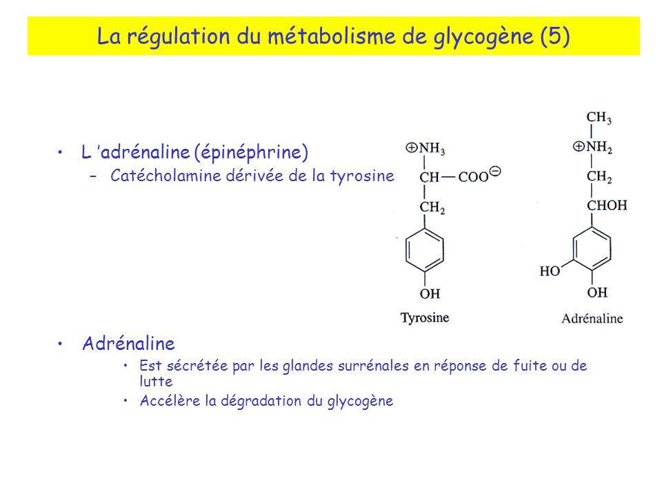 La régulation du métabolisme de glycogène (5)