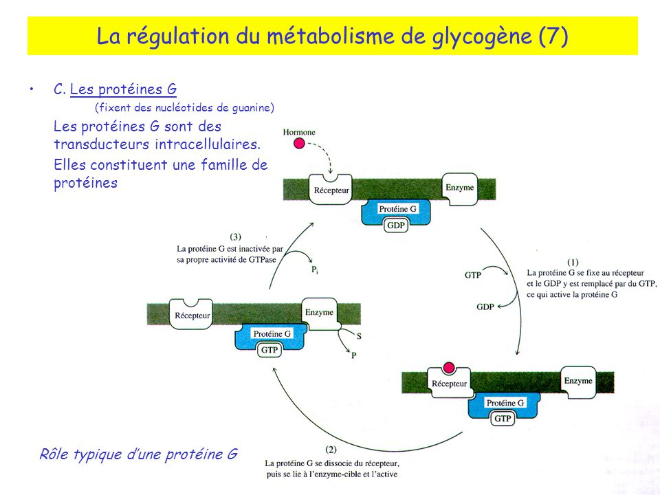 La régulation du métabolisme de glycogène (7)