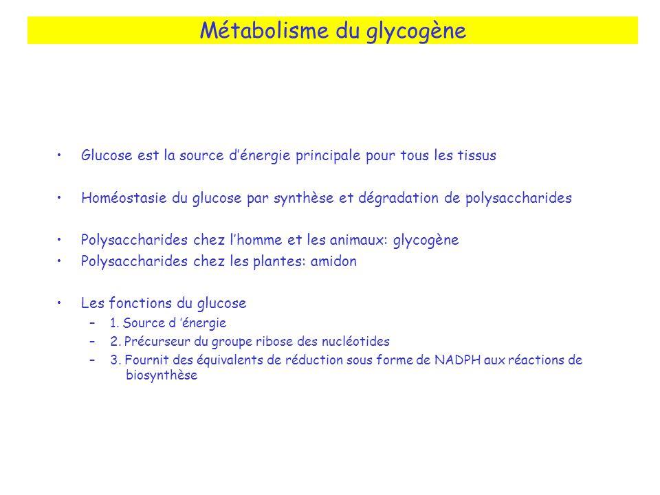 Métabolisme du glycogène