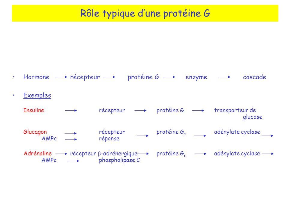 Rôle typique d'une protéine G