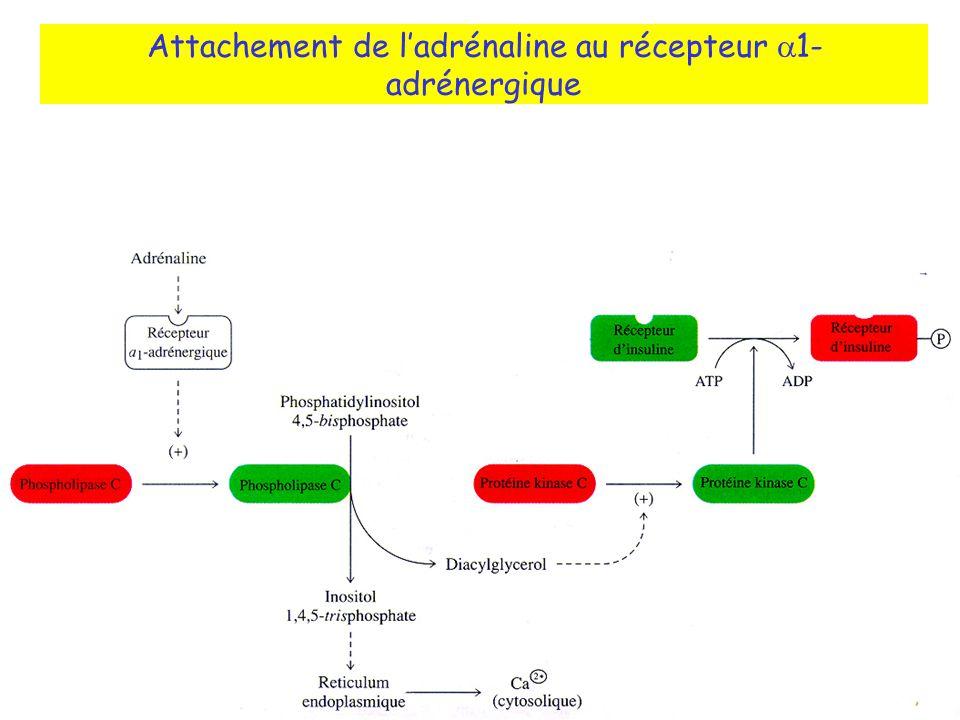 Attachement de l'adrénaline au récepteur a1-adrénergique